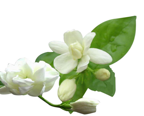 Jasmine Flower Compound - Mogra Flower PNG