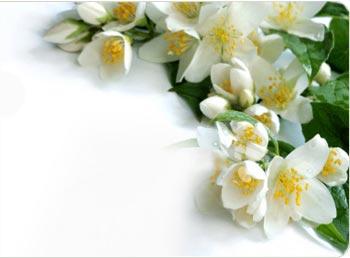 Mogra Flower PNG - 42383