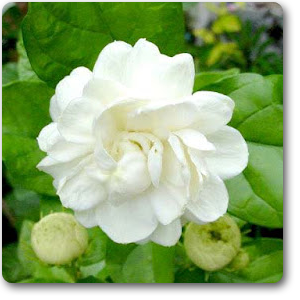 Largest online nursery for jasminum sambac, mogra, arabian jasmine - plant  along with plants - Mogra Flower PNG