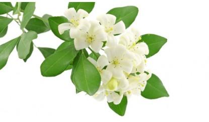 Mogra Flower PNG - 42379