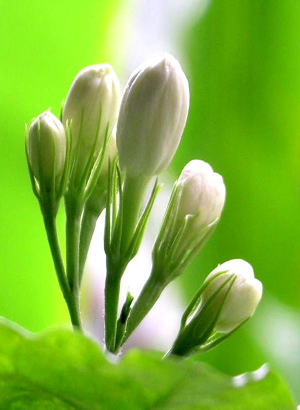Mogra Flower PNG - 42382