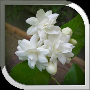 Mogra Flower PNG - 42384