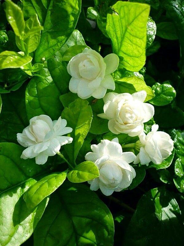 Mogra Flower PNG - 42394
