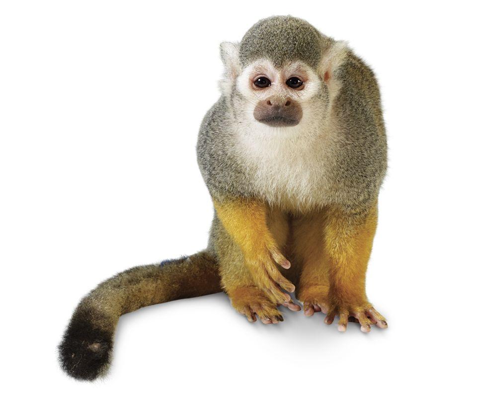 Monkey PNG HD  - 121657