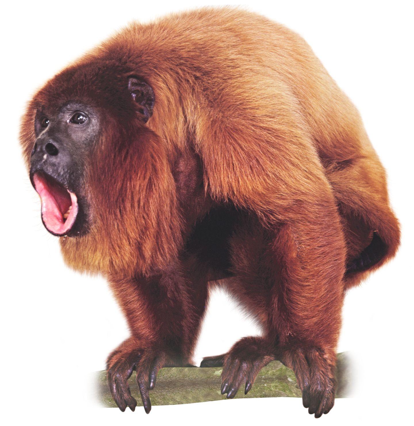 Monkey PNG HD  - 121664