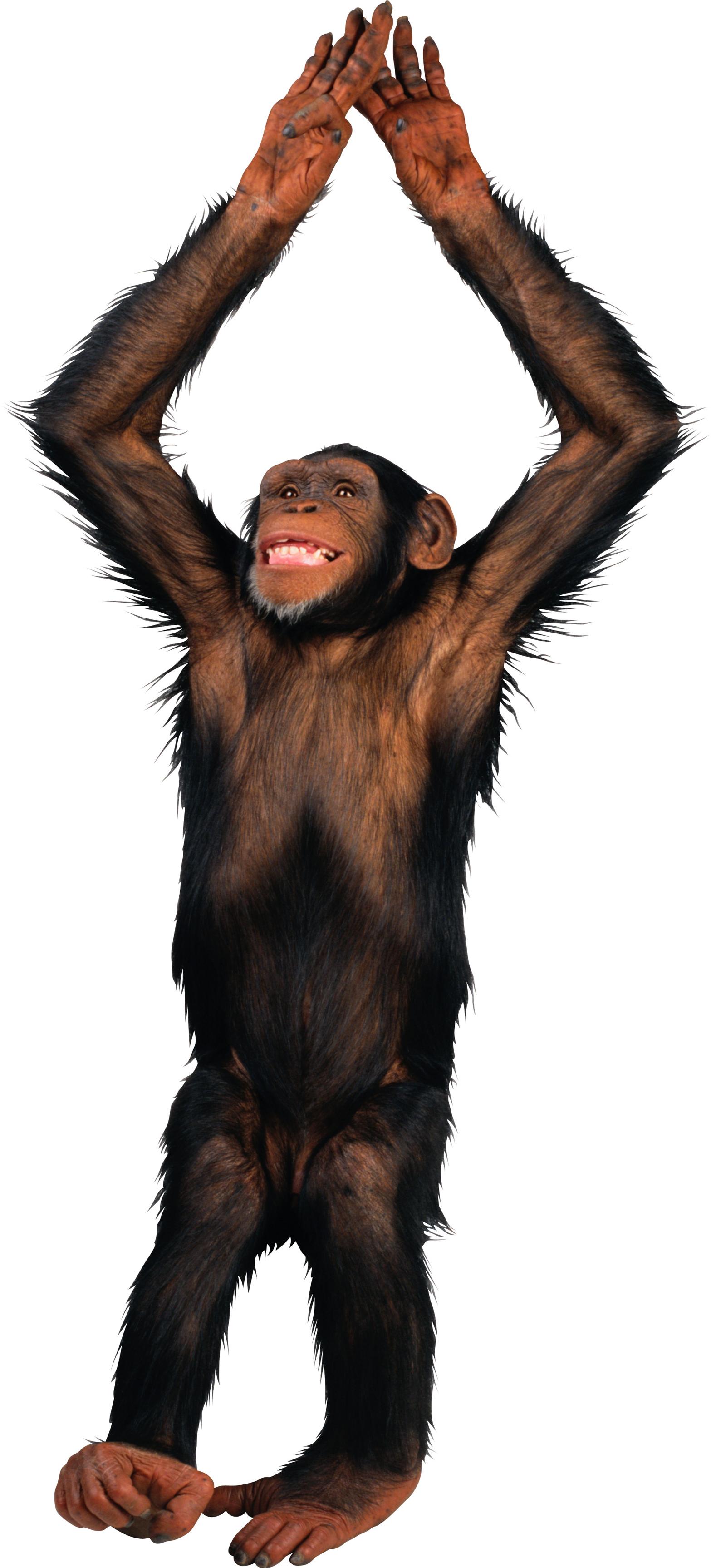 Monkey PNG HD  - 121658