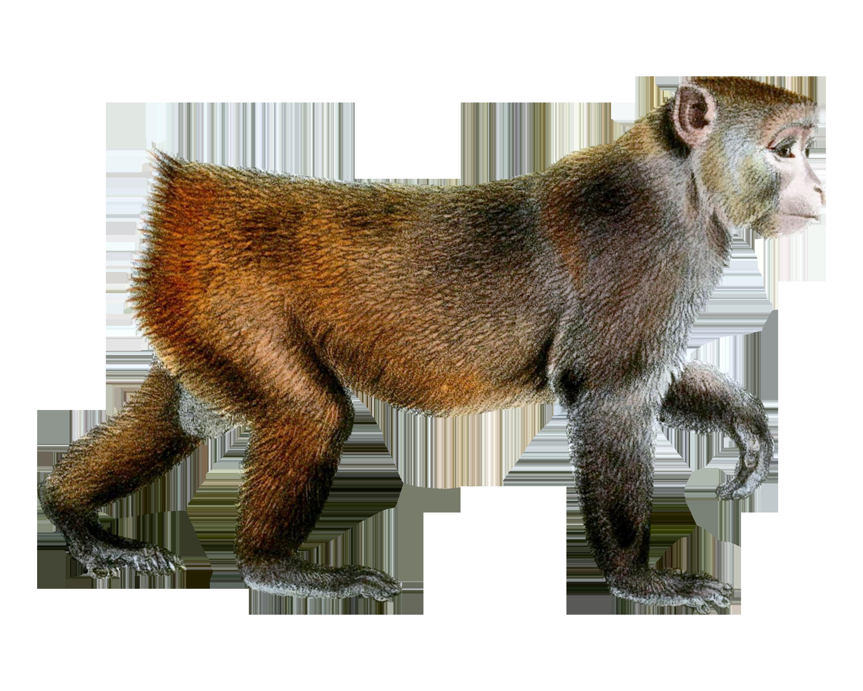 Monkey PNG HD  - 121652