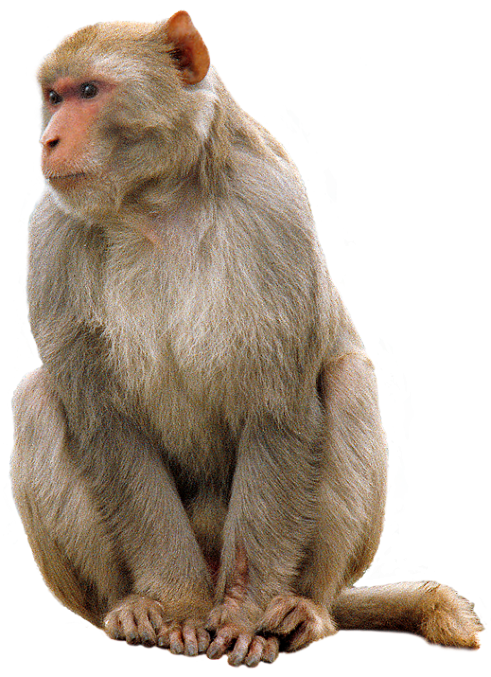 Monkey PNG HD