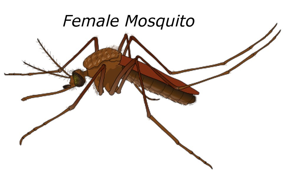 female mosquito malaria bug pest wildlife fly - Mosquito HD PNG