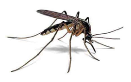 Mosquito HD PNG - 92387