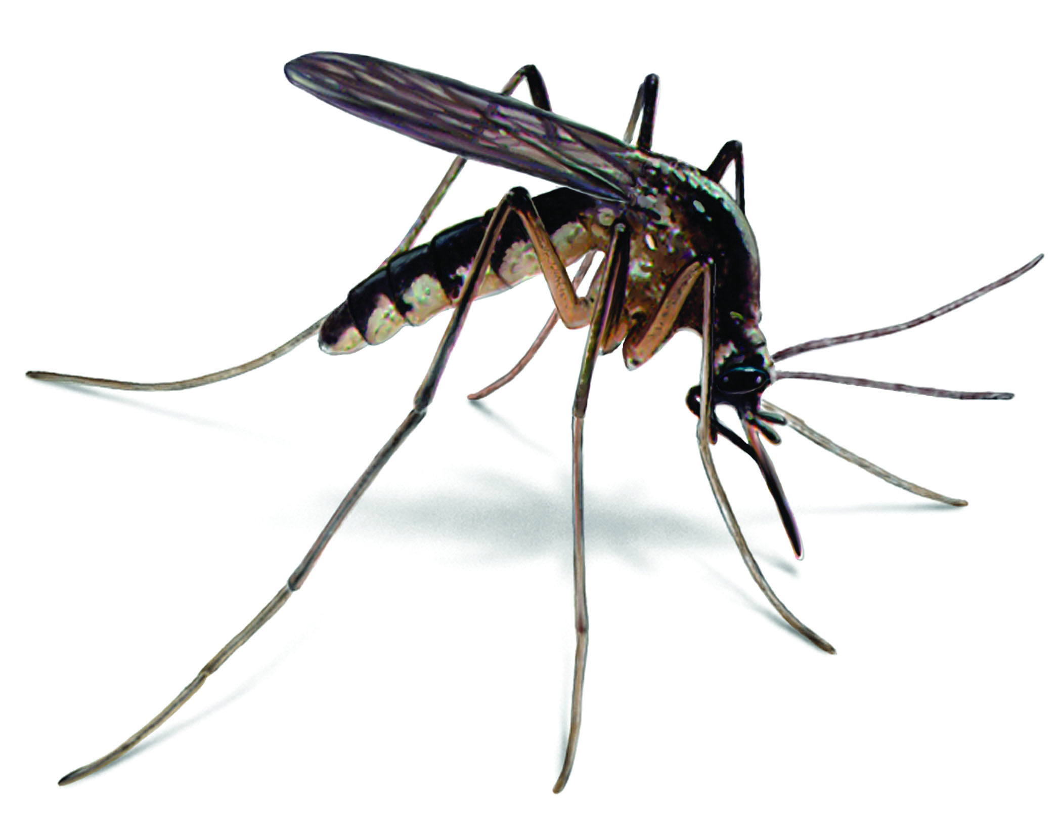 Mosquito HD PNG - 92378