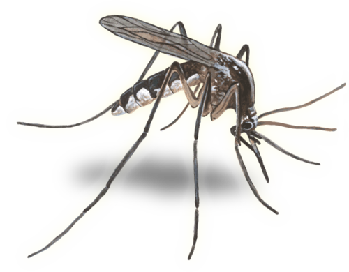 Mosquito PNG - 227
