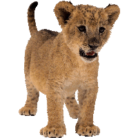 Small Lion Png Image PNG Image - Mountain Lion PNG HD