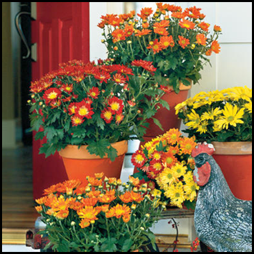 MUMS are inexpensive and can be purchased just about everywhere. They make  for great boarders, or can be planted in mass for a striking display. - Mums And Pumpkins PNG