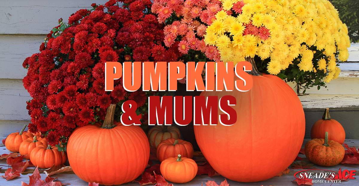 Pumpkins and Mums Facebook Image - Mums And Pumpkins PNG