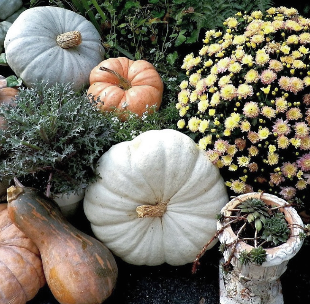 Shabby Chic French Country Fall Porch Display with heirloom pumpkins and  autumn kale and mums - Mums And Pumpkins PNG