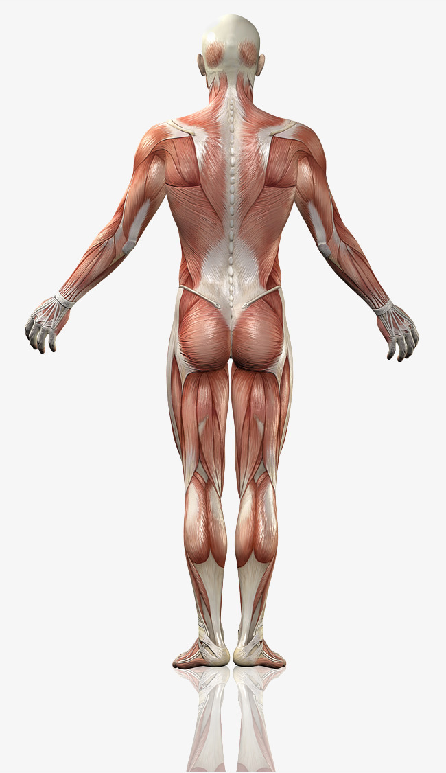 HD male back, Back, Muscle, Body Free PNG Image - Muscle PNG HD