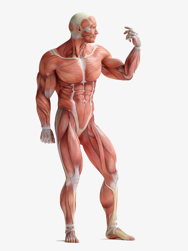 Muscle body anatomy HD buckle material, Muscle Body Dissection, Ent, Ear  Free PNG Image - Muscle PNG HD