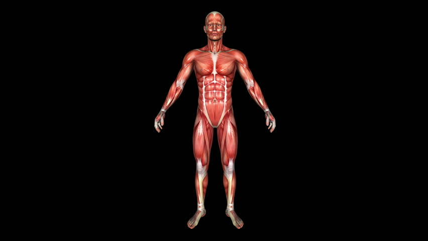 The Human Normal Body Muscle Animation. Loop. Alpha Matte - HD stock video  clip - Muscle PNG HD