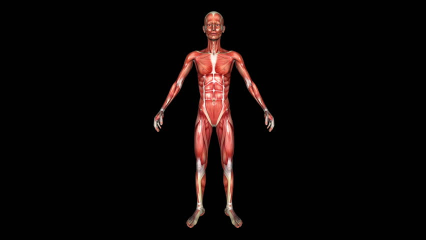 The Human Thin Body Muscle Animation. Loop. Alpha Matte - HD stock video  clip - Muscle PNG HD