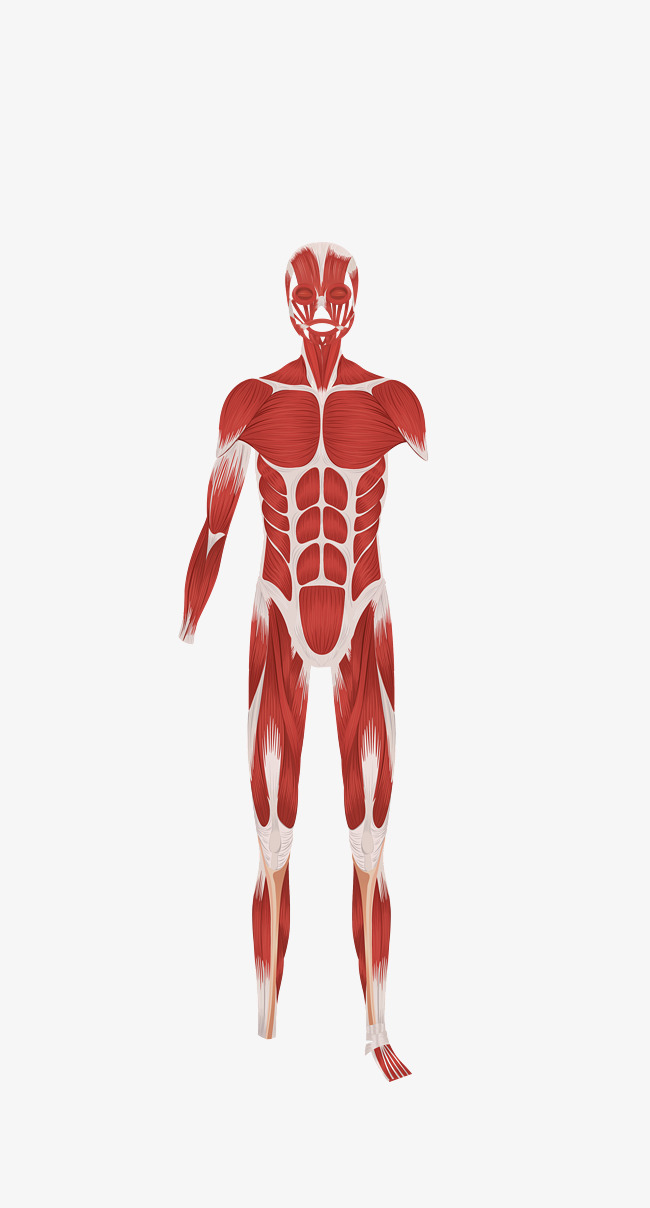 Vector HD Human Body Anatomy Download, Vector, Muscle Anatomy, Body Muscles  Free PNG and Vector - Muscle PNG HD
