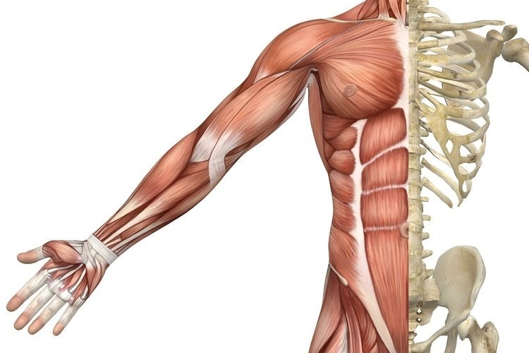 Muscle Tissue PNG - 82623