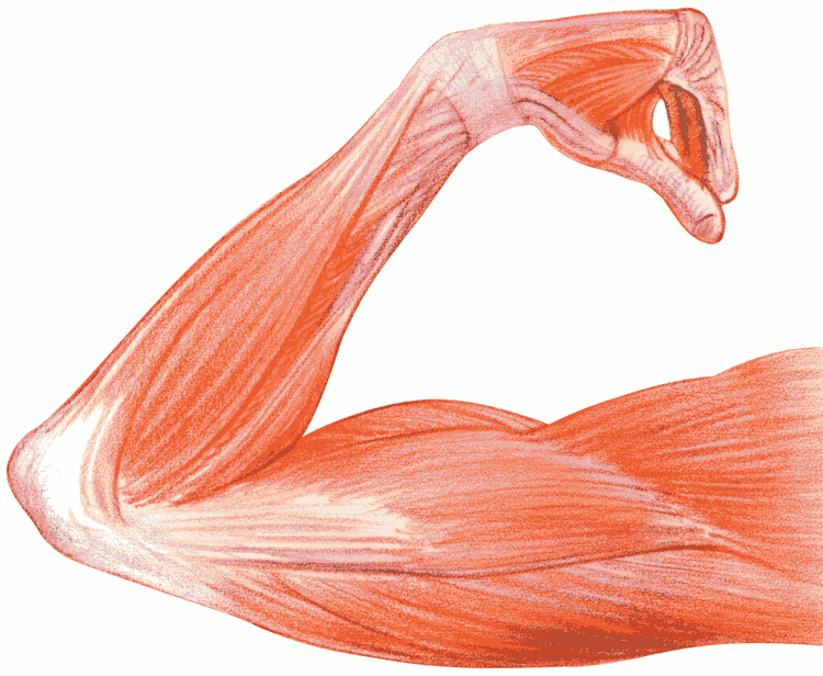 Muscle Tissue PNG - 82614
