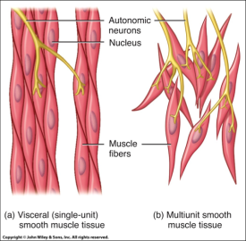Muscle Tissue PNG - 82625