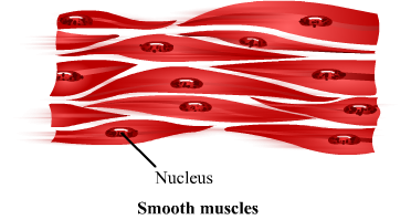 Muscle Tissue PNG - 82629