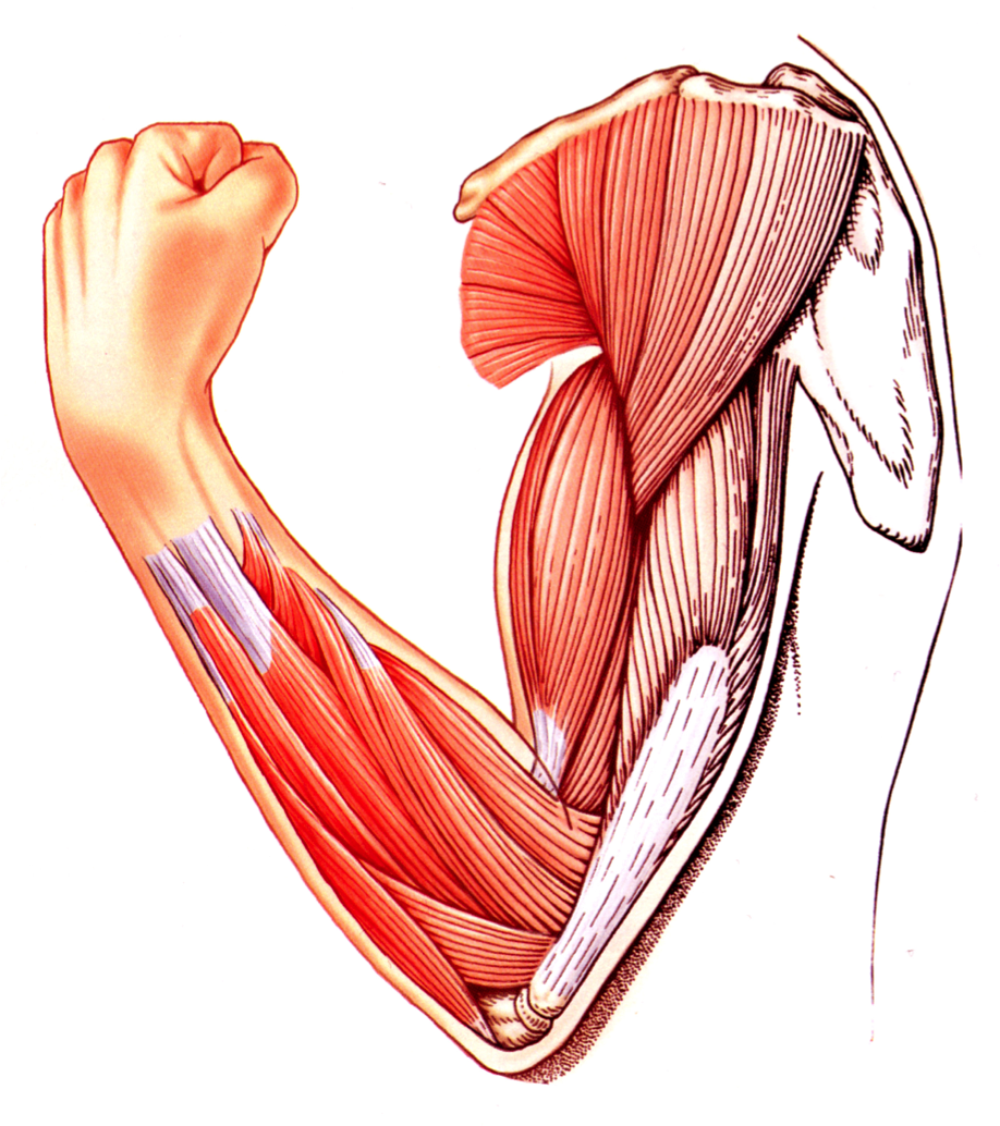 Muscle Tissue PNG