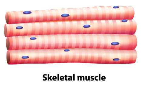 Muscle Tissue PNG - 82621