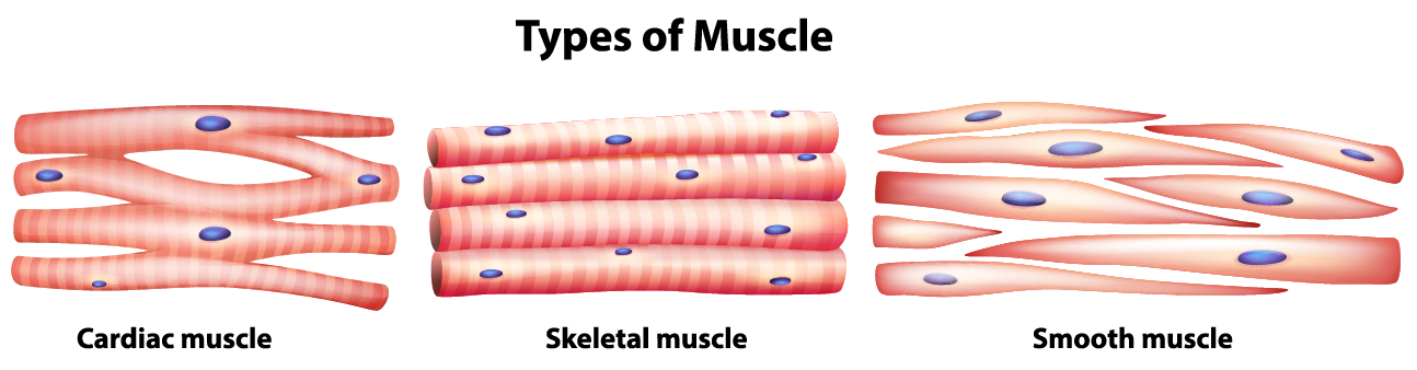 Muscle Tissue PNG - 82616