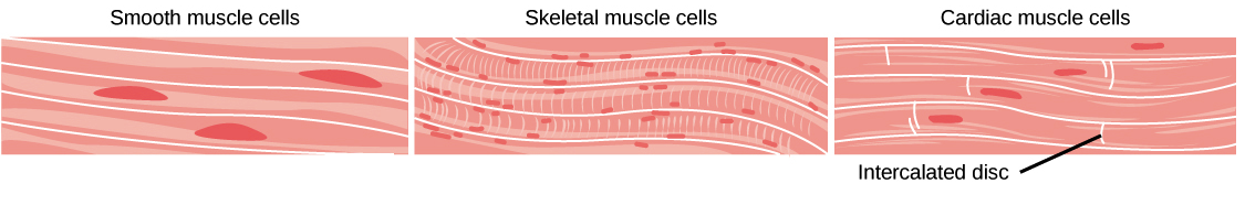 Muscle Tissue PNG - 82626