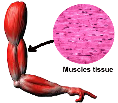 Muscle Tissue PNG - 82620