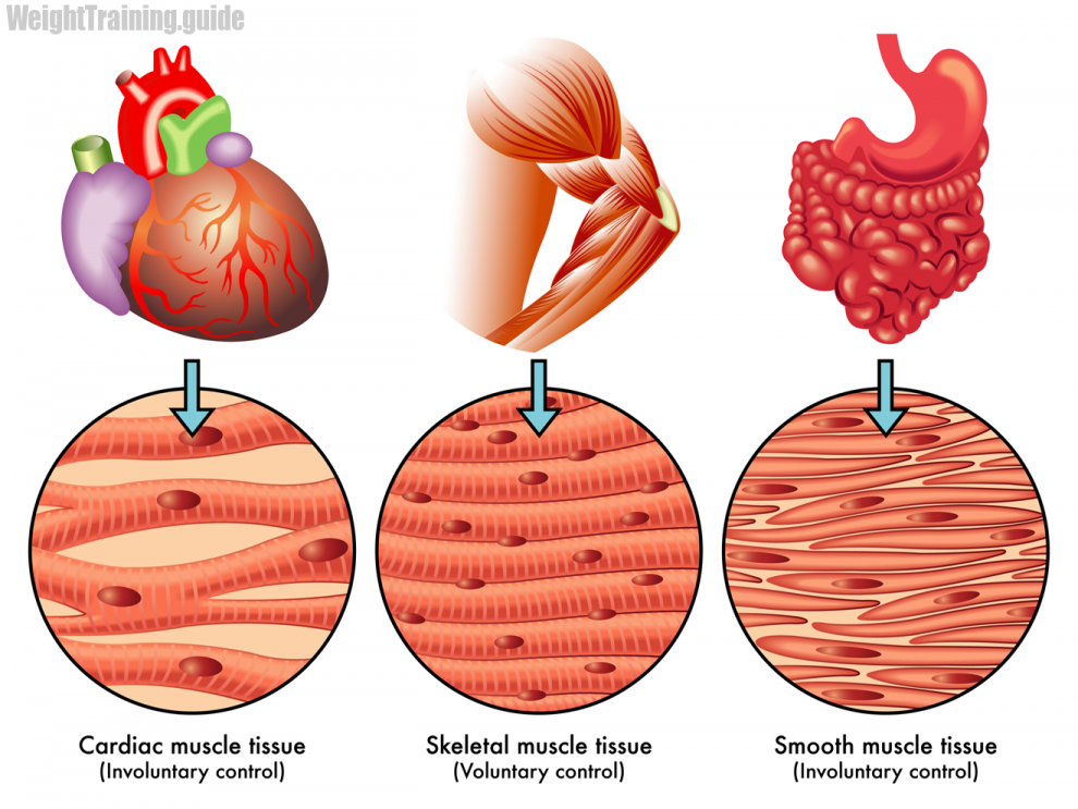 Muscle Tissue PNG - 82627