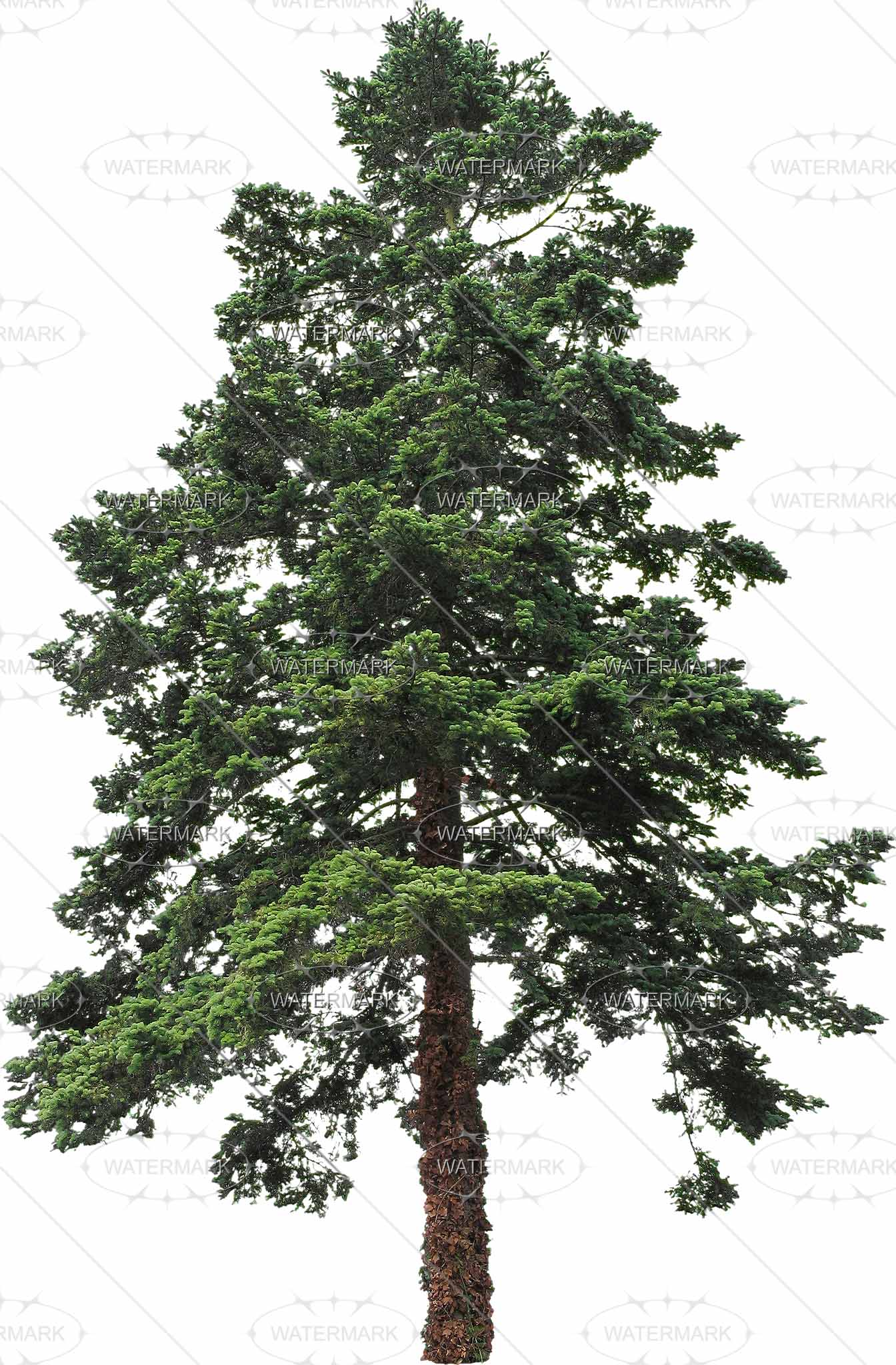 16 Big Conifers - Nadelbaume PNG