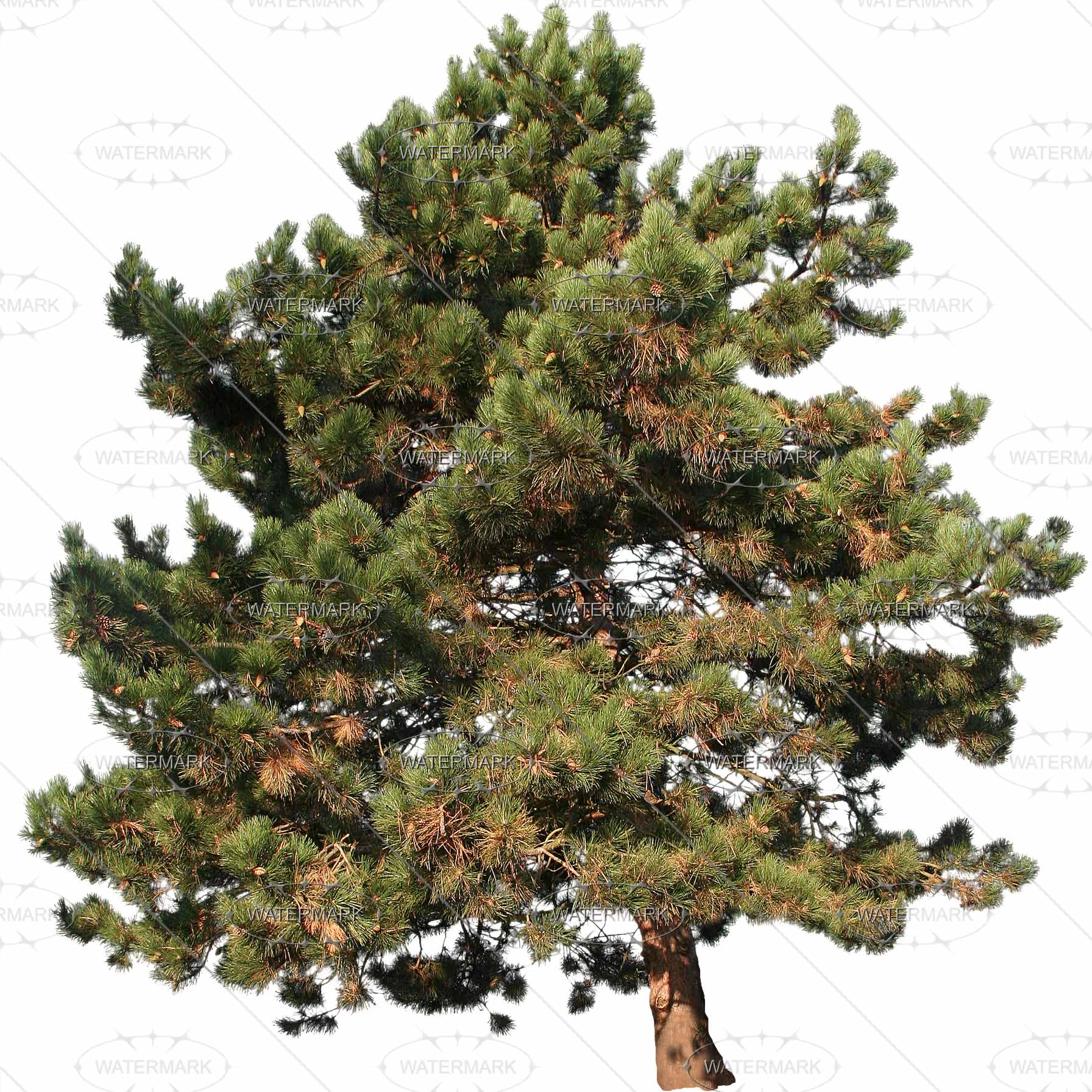 25 Midsize Conifers - Nadelbaume PNG
