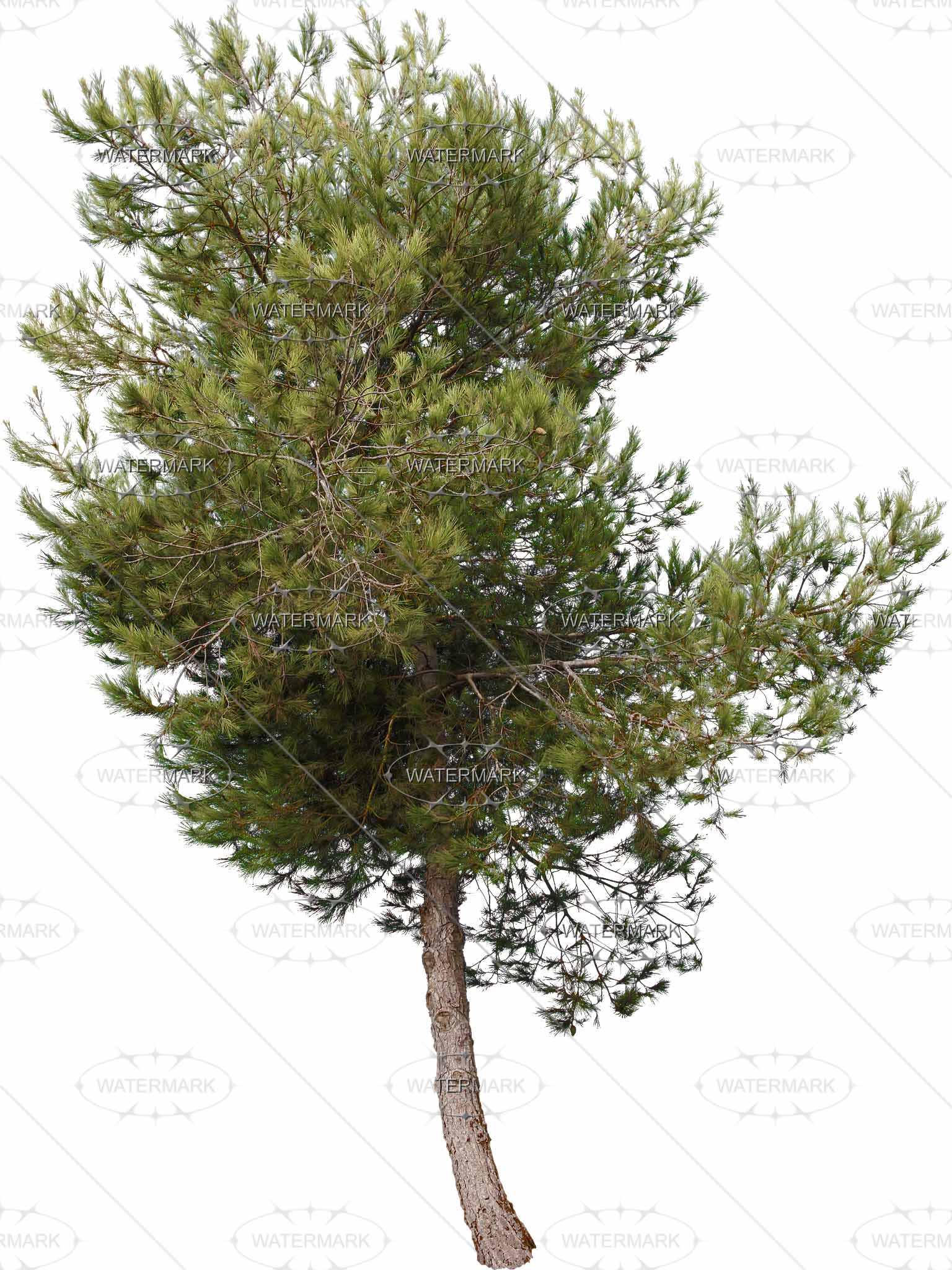 29 Small Conifers - Nadelbaume PNG