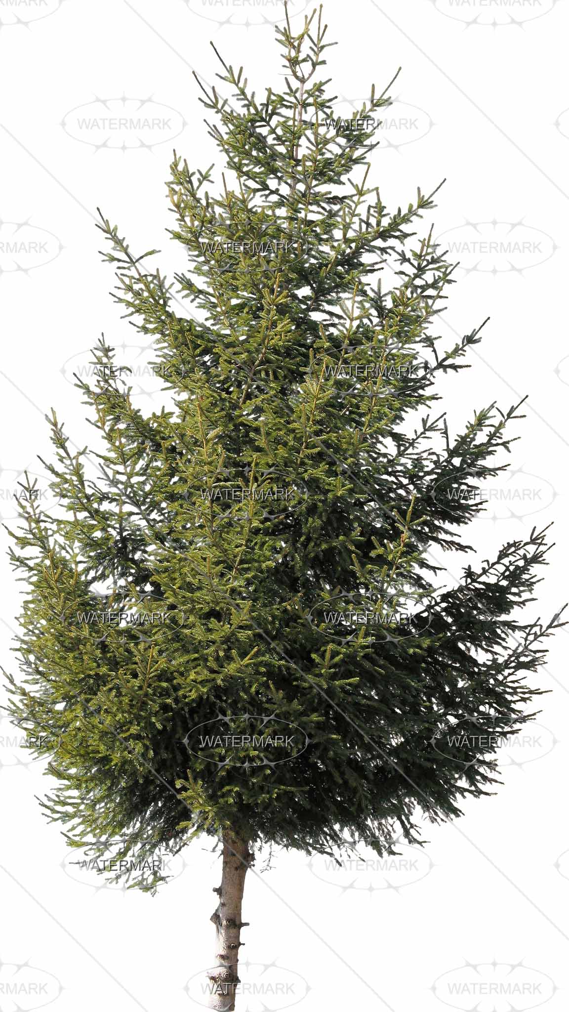 Cut Out Conifers - Nadelbaume PNG