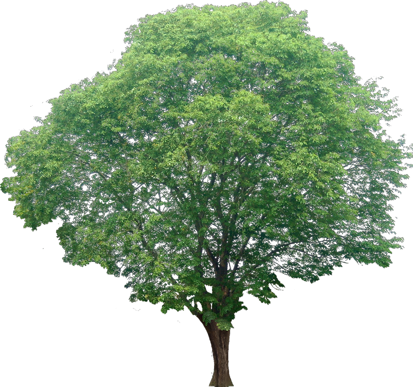 20 Tree Png Images For Architecture, Landscape, Interior Renderings @  Dzzyn Pluspng.com # - Narra Tree PNG