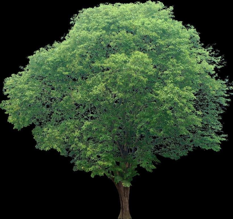 Narra Tree PNG - 74470
