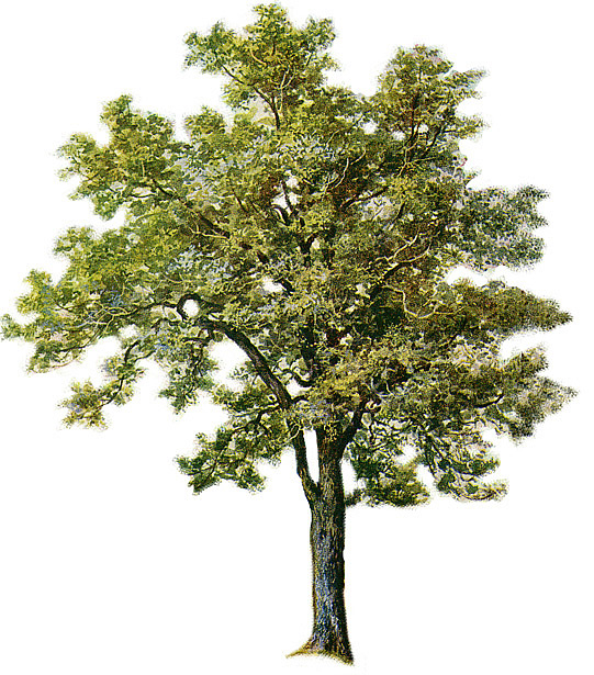 Ash - Narra Tree PNG