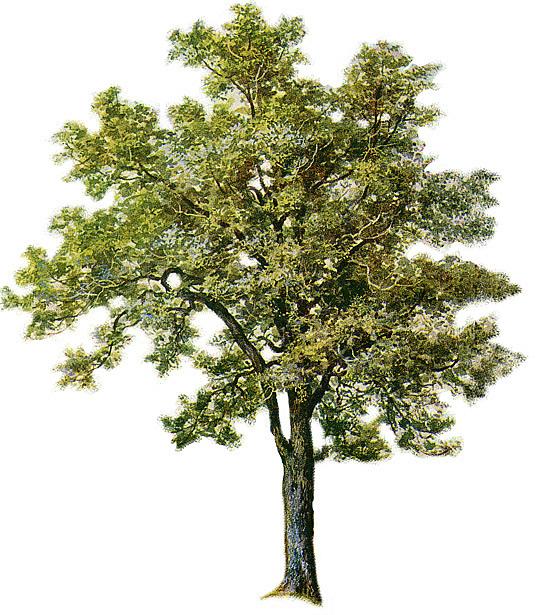 Narra Tree PNG - 74487