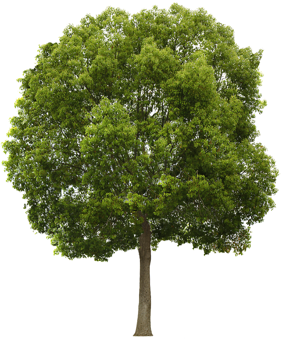 hackberry tree - Narra Tree PNG
