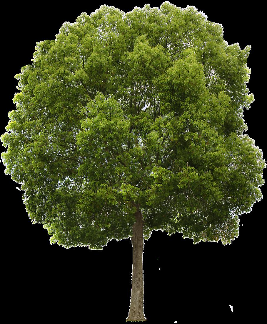 Hackberry Tree - Narra Tree PNG