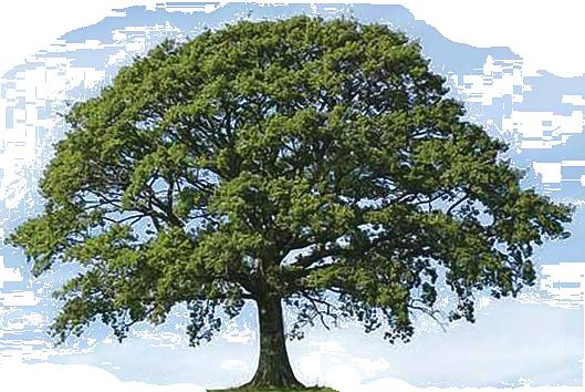 oak tree clip art transparent - Narra Tree PNG