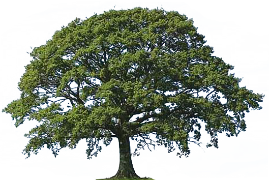 Narra Tree PNG - 74481
