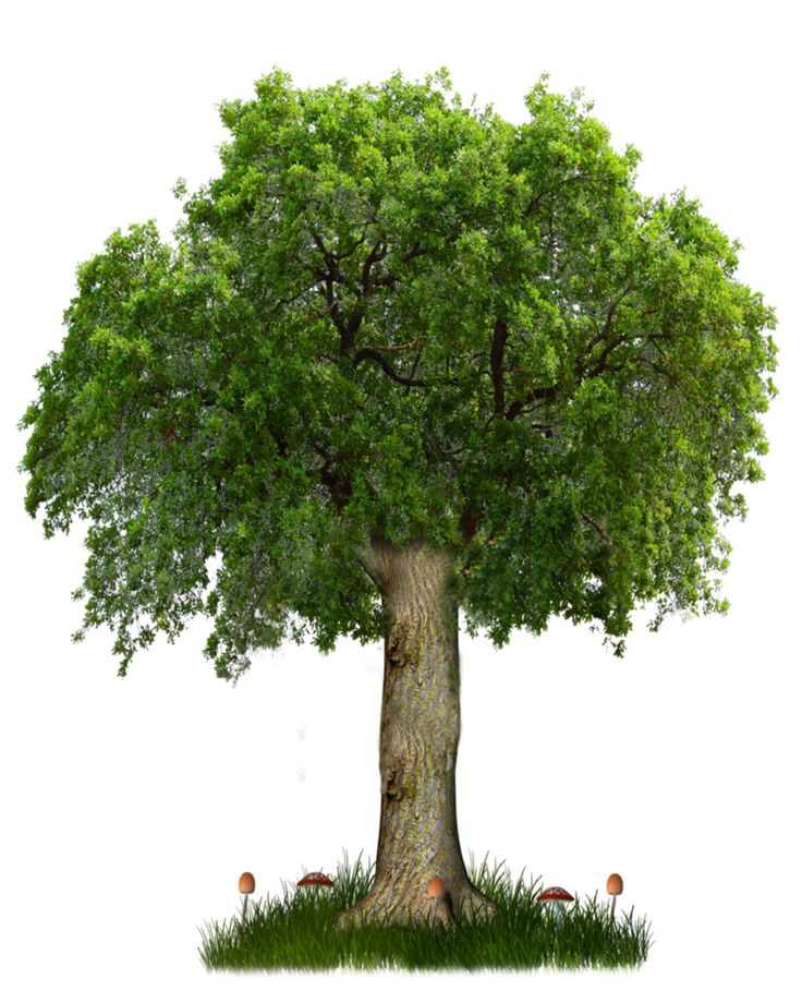 PNG TREE 8 By ~paradise234 On DeviantART - Narra Tree PNG