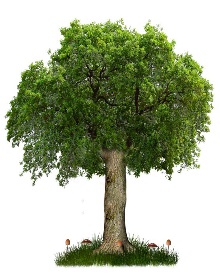 Narra Tree PNG - 74476
