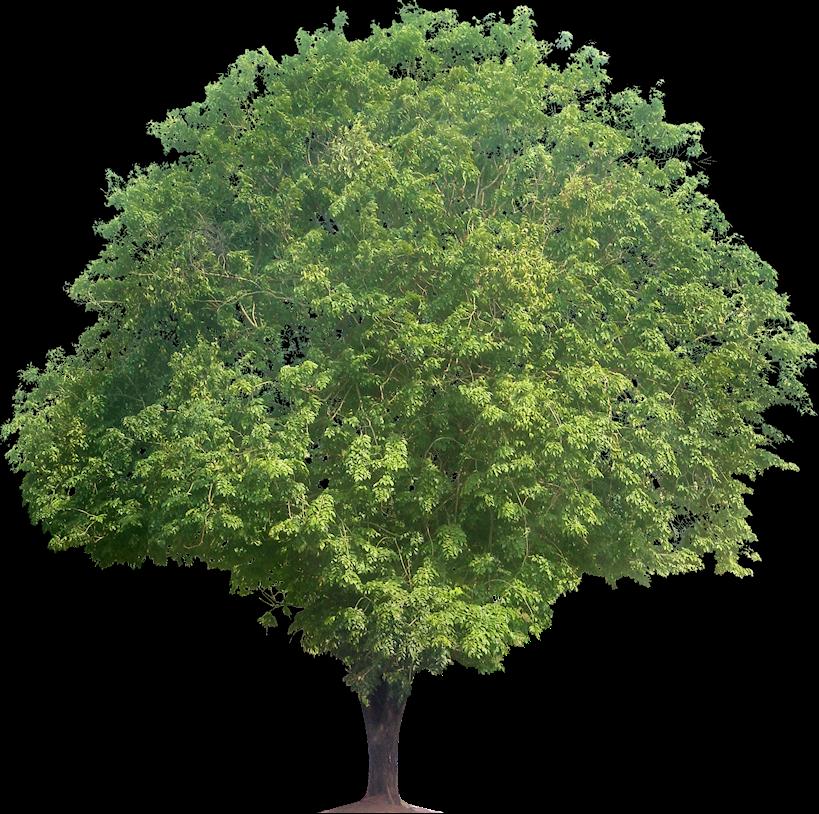 Pterocarpus Indicus (PNG Rosewood) - Narra Tree PNG